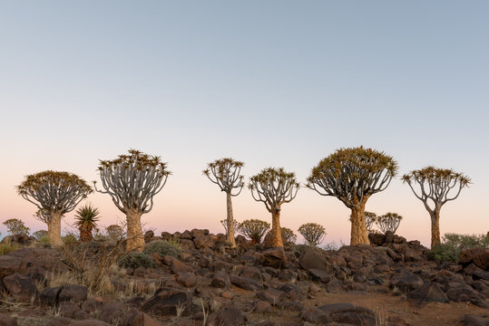 Clean dusk photograph of quiver tree forest and rocky landscape, Keetmanshoop, Namibia