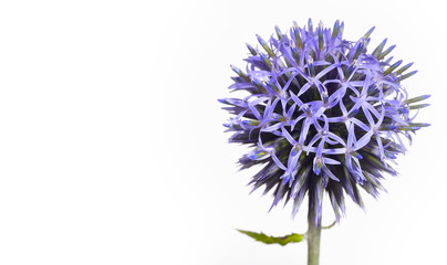A wonderful globe thistle, a beautiful wild flower turns against a white background like a being from another galaxy, blue and pointed she shows her nature