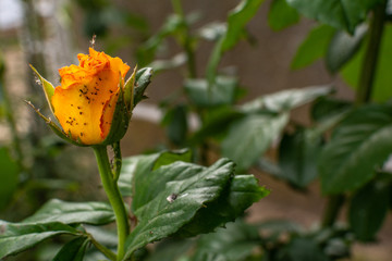 Yellow rose rose bud covered with insects