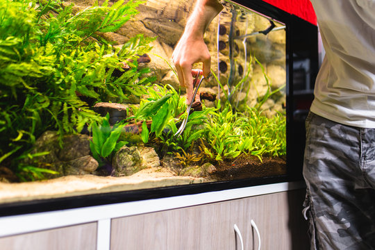 Man cleaning aquarium and cutting underwater plants.