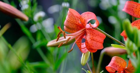 Beautiful lily close-up