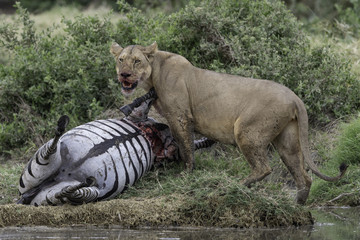Aluminium Prints Natuur Lion kills zebra in Tanzania Serengeti