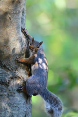 Portrait of an eastern grey squirrel (sciurus carolinensis) climbing a tree