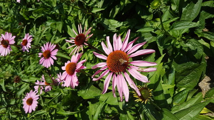 Echinacea Purpurea or eastern purple coneflower in the garden with purple flowers and lot of insects like bees and butterflies.