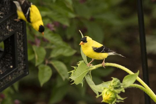 American goldfinches in Nighthawk Gardens;  Wyoming
