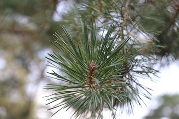 Close-up of a spar tree at the veluwe in the Netherlands.
