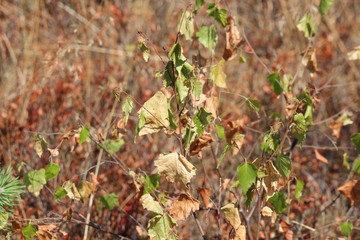 Brown leaves and needles in the summer due to dryness in the Netherlands on the veluwe