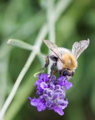 abeille sauvage sur fleur de lavande