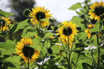 sunflowers in the sun in a garden in nieuwerkerk aan den IJssel in Netherlands