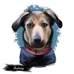 Huntaway, New Zealand Huntaway dog digital art illustration isolated on white background. New Zealand origin large tricolor working dog. Pet hand drawn portrait. Graphic clip art design for web, print