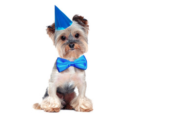 Little yorkshire terrier puppy having birthday