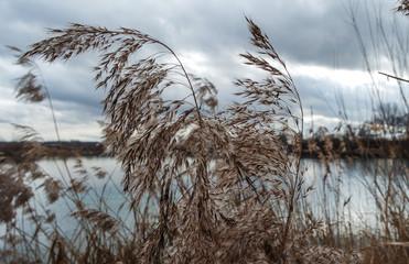 Seegras Pflanze Kornfeld am See stürmisch
