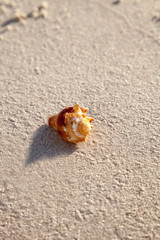 Fighting conch seashell Strombus pugilis on a white sand beach