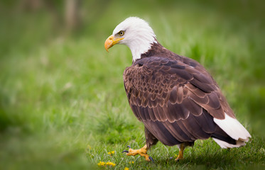 Fototapete - Bald Eagle walking