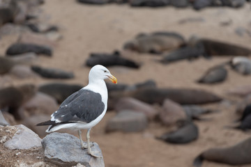 White sea gull looking down at a colony of seals lying at the coast