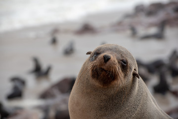 Portrait of a sleepy seal, eyes closed