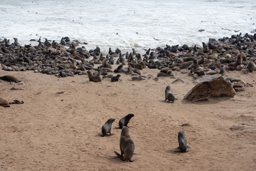 Colony of seals at coast near sea water