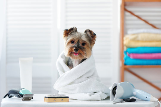 Happy dog in a towel sitting at the groomer table after bath