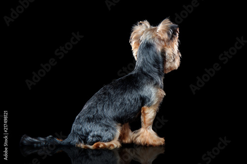 Sitting Yorkie Dog Looking Back Against Black Background Stock