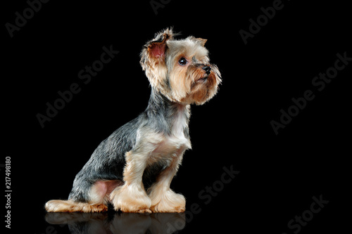 Yorkie Dog In A Black Studio Side View Picture Stock Photo And