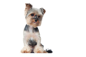 Yorkshire terrier puppy against white background full length picture