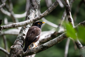 Myna bird in a tree