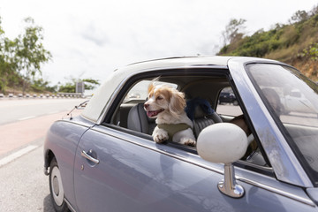 Dog enjoying a ride with the vintage car color purple on the road