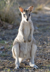 agile wallaby in north Queensland, Australia.