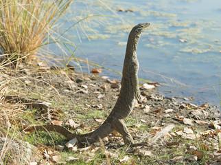 Monitor lizard near Karumba, Queensland, Australia.