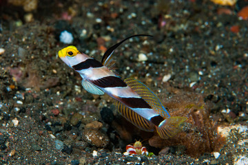 Black-rayed shrimp-goby Stonogobiops nematodes