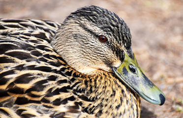 Closeup of a cute brown duck