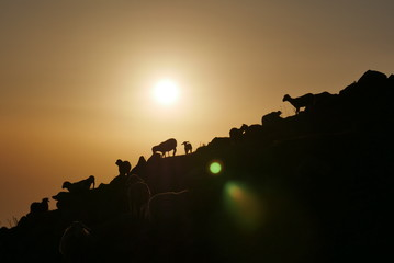 silhouette of goats in sunset