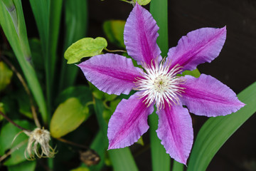 Pink Clematis in Full Bloom