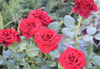Red roses on a background of greenery in the garden