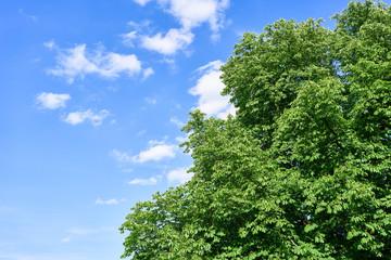 Kastanienbaum vor Himmel im Sommer