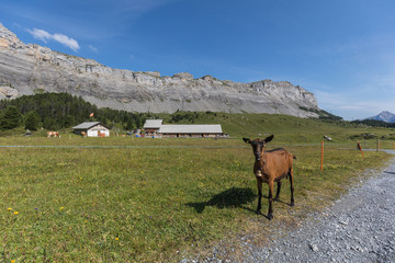 goat looking into the camera on high mountain route through the Gemmi Pass in Switzerland