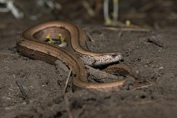 Slow Worm (Anguis fragilis)/Slow Worm discovered under refugia