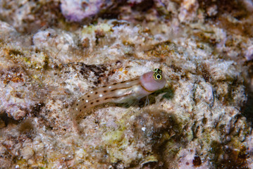 White-spotted combtooth blenny Ecsenius trilineatus