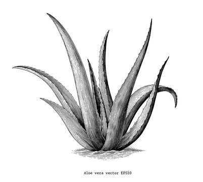 Aloe vera hand draw vintage botanical clip art isolated on white background