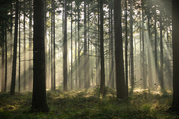 Sunrise with light rays in a forest