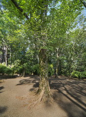 Old mapple tree with large trunk full of green moss in the Rikugien Park at Tokyo in Japan.