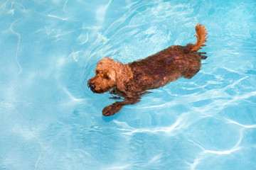 Goldendoodle swimming in pool