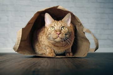 Cute ginger cat lying in a paper bag and looking curious upwards.