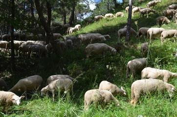 Schafherde auf Waldweide