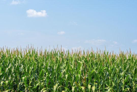 corn field in rural Illinois