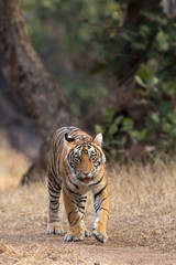 Tiger Head-on From Ranthambore Tiger Reserve Rajasthan India