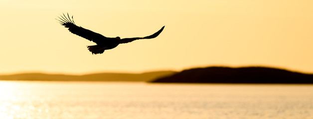 Norwegian white tailed eagle in sunset