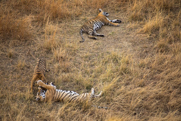 Cuddling Tiger Mother and Cubs Ranthambore Tiger Reserve Rajasthan India