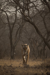 Emerging From Woods Tiger Ranthambore Tiger Reserve Rajasthan India