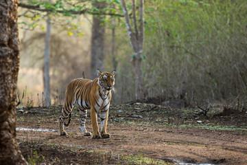 Backlit Tiger on Foggy Morning Nagarhole National Park Karnataka India